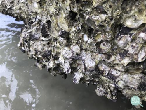 食新聞/做好廢水處理就是這麼重要!科學家在牡蠣發現各種病原菌、塑膠、甚至是奶粉