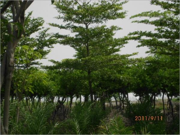 小叶榄仁 - 兴生景观开发有限公司
