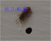 蛀蟲、木蠹蟲、粉蠹蟲