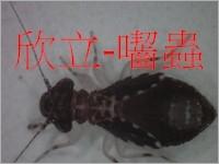 嚙蟲/囓蟲