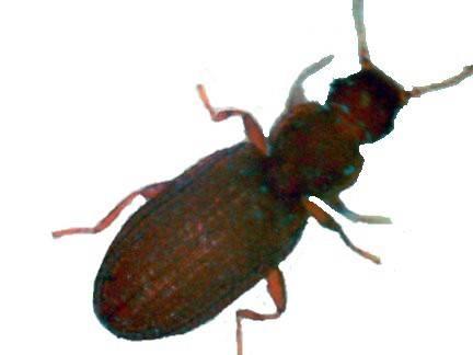 姬薪蟲/灰泥甲蟲/真菌甲蟲