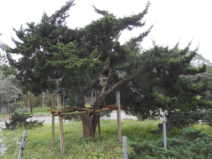 台灣真柏-彰大農園0920-008-538