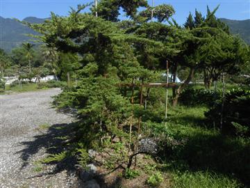 阿里山攀柏-彰大農園0920-008-538