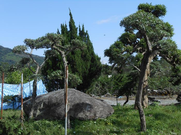銀梧樹(山上會發光的樹)/ 椬梧-彰大農園0920-008-538