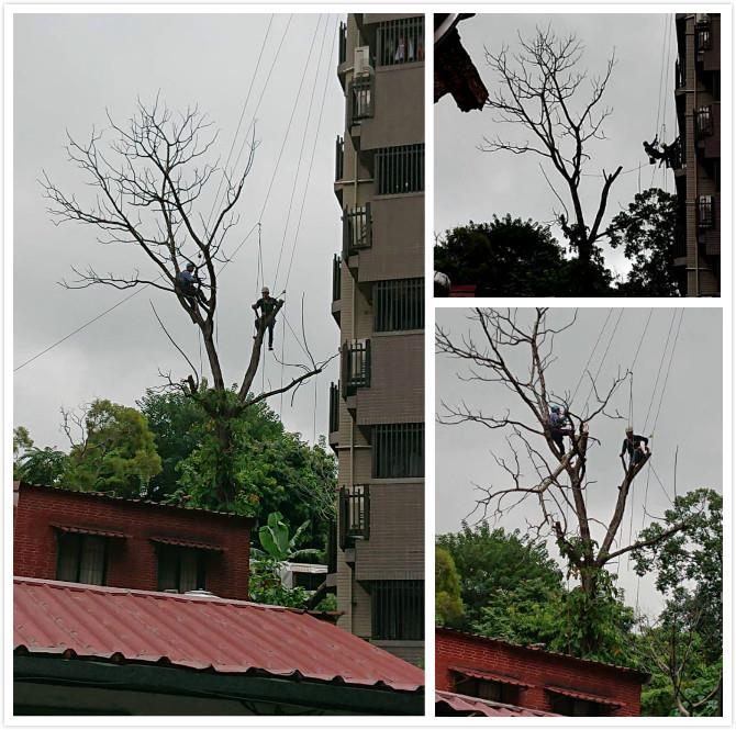 繩索高空作業 -鋸樹工程